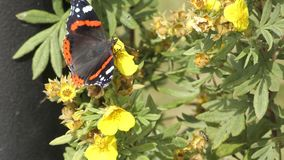 Black butterfly collects nectar on yellow flowers