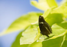Black butterfly common mime Stock Images