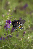 Black Butterfly Drinking from Purple Flower. Black Butterfly on Purple Flower with Wings Showing Stock Photography