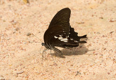 Black butterfly eat salt lick Stock Image