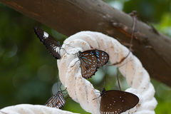 Black butterfly eat salt lick on rop. And focus center Royalty Free Stock Photography