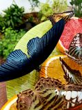 Black butterfly. Eating orange royalty free stock image