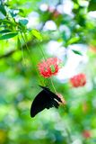 Black butterfly enjoying nectar Stock Images