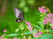 Black butterfly feeding Stock Photography