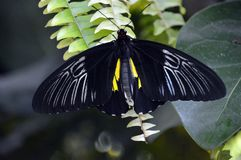 Black and Butterfly on a fern. Black and white butterfly lands on a fern Stock Photography