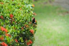 Black butterfly on flower green plant bush. Black butterfly on flower green plant stock images