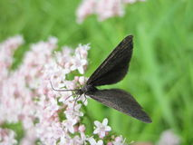 Black butterfly on flower Stock Photos