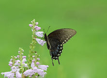 Black butterfly on flowers stock photo