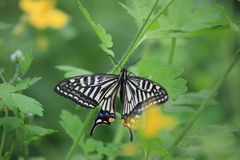 Black butterfly Royalty Free Stock Photo