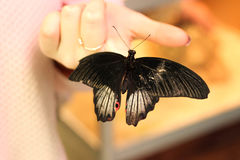 Black butterfly on a girl`s hand Stock Image