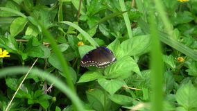 Black Butterfly in Green Grass. Slow Motion stock video