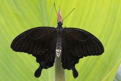 Black butterfly. A black butterfly on a green leaf stock photos