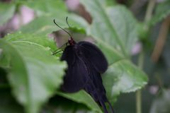 Black butterfly on a green leaf stock photo