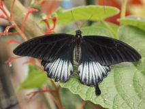 Black butterfly. On green leaf in summer day Stock Image