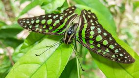 Black butterfly with green spots on leaves Stock Image