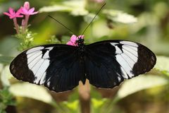 Black Butterfly Heliconius sara theudela with white stripes feeding on flower. Butterflies Royalty Free Stock Images