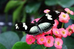 Black Butterfly Heliconius sara theudela with white stripes feeding on flower. Butterflies Royalty Free Stock Photo