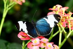 Black Butterfly Heliconius sara theudela with white stripes feeding on flower. Butterflies Stock Photos
