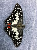 Black butterfly insect, beautiful white pattern stock photography