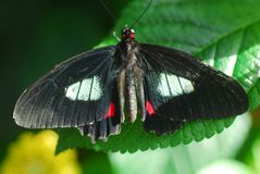Black Butterfly insect. Feeding on a flower Royalty Free Stock Photography