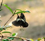 Black Butterfly. Its a black butterfly hanging upside down on a leaf Royalty Free Stock Photography