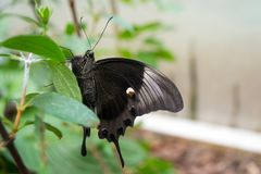 Black butterfly. In its natural environment stock photos