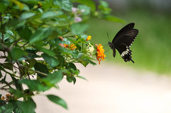 Black Butterfly with Lantana flower Stock Photo