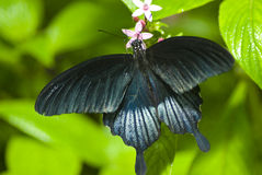 Black butterfly on a leaf Royalty Free Stock Image