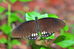 Black butterfly on leaf Royalty Free Stock Photos