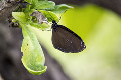 Black Butterfly on Leaf. A picture of a black butterfly with white speckles on a leaf Royalty Free Stock Photography