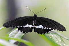 Black Butterfly on a leaf Royalty Free Stock Photography