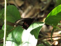 Black butterfly in leaves, Brazil South America. Beautiful black butterfly in tree leaves, Brazil, South America 2017 Royalty Free Stock Images