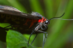 black butterfly macro closeup stock photography