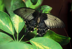Black butterfly in Malaysia Stock Photo