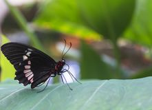 Black butterfly mottled red and white. Black butterfly mottled red and white profile view, which is posed on a leaf.In horizontal format royalty free stock images