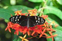 Black butterfly. On orange flowers in the Butterfly Conservatory, Niagara Parks Botanical Gardens, Canada Royalty Free Stock Photos
