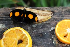 Black butterfly with orange spots on fruits, banana and oranges. A black butterfly with orange spots feeding itself over pieces of fruit: banana and oranges royalty free stock photo
