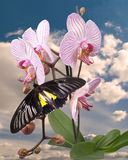 Black butterfly on the pink orchid Royalty Free Stock Image