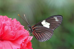 Black Butterfly on Red Carnation Royalty Free Stock Image