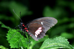 Black Butterfly with red dots Royalty Free Stock Images