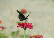 Black Butterfly on Red Flower. Black butterfly red flower nature garden zinnia royalty free stock photography