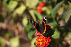 Black butterfly on red flowers Stock Images