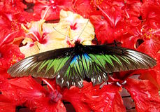 Black Butterfly on Red Flowers Royalty Free Stock Photos