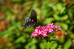 Black butterfly red flowers. Black swallowtail butterfly at San Antonio Botanical Garden stock photos