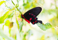Black butterfly with red pattern Royalty Free Stock Image