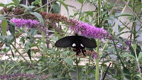 Black butterfly with red & white stripes stock video footage