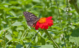 Black butterfly on red Zinnia flower Stock Images