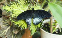 Black butterfly with silvery stripes. On leaf of plant in nursery. Tropical butterfly papilio rumanzovia Royalty Free Stock Image
