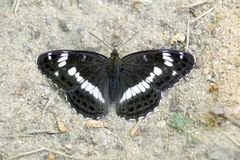 Black butterfly sits on the sand of the forest trail, a beautiful insect in the nature. A black butterfly sits on the sand of a forest path, a beautiful insect royalty free stock images