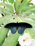 Black butterfly. Sitting on a green leaf royalty free stock images
